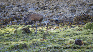 Northern Gwaii Haanas Kayak Tour - A sandhill crane looking for something to eat at low tide.
