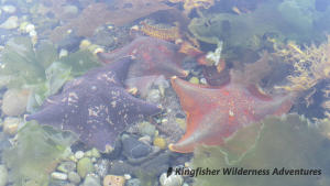 Southern Gwaii Haanas Kayak Tour - Bat stars can be found on many beaches during low tide in Gwaii Haanas.