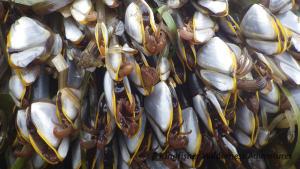 Southern Gwaii Haanas Kayak Tour - A pelagic species of goose neck barnacle found on floating debris.