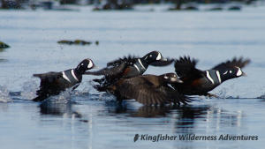 Kayak With Whales Tour - Colourful harlequin ducks.