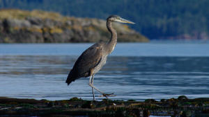 Kayak With Whales Tour - A great blue heron fishing from a kelp bed.