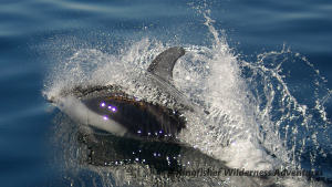 Kayak With Whales Tour - A Pacific white-sided dolphin.
