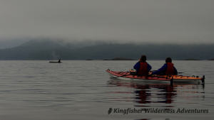 Kayak With Whales Tour - An orca swims past our kayaks.