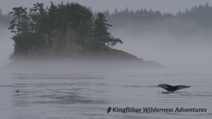 Kayak With Whales Tour - A humpback whale dives on a foggy morning. To the left you can just see the back of another humpback.