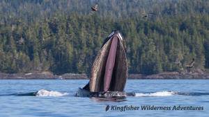 Kayak With Whales Tour - Looking down the mouth of a humpback whale as it feeds near our base camp in Blackfish Sound.