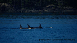Kayak With Whales Tour - Orcas with kayaks in the background.