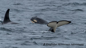 Kayak With Whales Tour - Orcas.