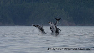 Kayak With Whales Tour - Pacific white-sided dolphins jumping in Blackfish Sound not far for the Orca Waters Base Camp.