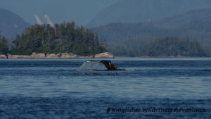 Kayak With Whales Tour - A humpback whale shows its flukes as it dives.