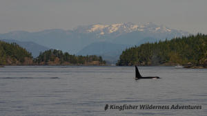 Kayak With Whales Tour - An orca swims past the base camp with snow capped mountains in the background.