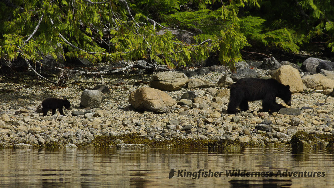 Explorer kayak tour mother black bear and cub seen from our kayaks