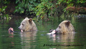 Whales and Grizzly Bears Kayak Tour - Grizzly bear cubs feasting on salmon.