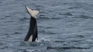 Whales and Grizzly Bears Kayak Tour - An orca's tail.