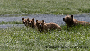 Whales and Grizzly Bears Kayak Tour - A mother grizzly bear and her three yearling cubs feeding on high-protein sedges in Knight Inlet.