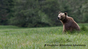 Whales and Grizzly Bears Kayak Tour - A female grizzly bear in Knight Inlet.