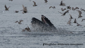 Whales and Grizzly Bears Kayak Tour - Humpback whale lunge feeding on bait fish near Kingfisher's Orca Waters Base Camp.