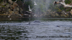 Whales and Grizzly Bears Kayak Tour - Looking down the blowhole of a humpback whale.