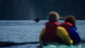 Whales and Grizzly Bears Kayak Tour - Kayakers watch as a humpback whale dives.