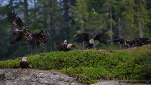 Whales and Grizzly Bears Kayak Tour - Bald eagles are a common sight on all our kayak tours.