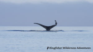 Northern Gwaii Haanas Kayak Tour - Humpback whales are often see on our Gwaii Haanas kayak tours.