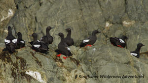 Northern Gwaii Haanas Kayak Tour - Pigeon guillemots, plus many other sea birds, are a common sight in Gwaii Haanas