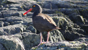 Northern Gwaii Haanas Kayak Tour - Oystercatchers are a common sight in Gwaii Haanas.