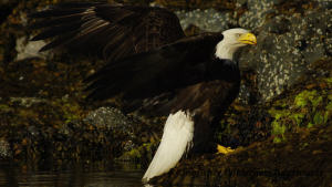 Northern Gwaii Haanas Kayak Tour - Bald eagles are a common sight in Gwaii Haanas.