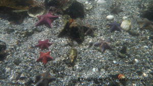 Northern Gwaii Haanas Kayak Tour - Bat stars can be found on many beaches during low tide in Gwaii Haanas.