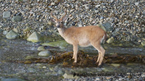 Northern Gwaii Haanas Kayak Tour - Deer were introduced to Haida Gwaii in the early 1900s and without any natural predators are now found in large numbers throughout the islands.