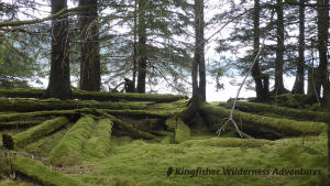 Northern Gwaii Haanas Kayak Tour - The rainforest is slowly reclaiming the ancient Haida village site of T'aanuu Llnagaay.