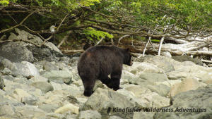 Northern Gwaii Haanas Kayak Tour - Black bears are often seen along the shoreline while kayaking in Gwaii Haanas.