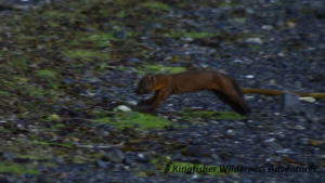 Northern Gwaii Haanas Kayak Tour - The pine marten is one of only eleven mammals native to Haida Gwaii.