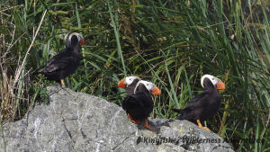 Southern Gwaii Haanas Kayak Tour - Toward the south end of Gwaii Haanas tufted puffins may be seen.