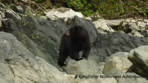 Southern Gwaii Haanas Kayak Tour - Black bears are often seen along the shoreline while kayaking in Gwaii Haanas.