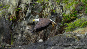 Family Kayak With Whales Tour - Bald eagles are a common sight on all of our kayak tours.