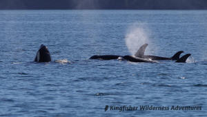 Family Kayak With Whales Tour - A pod of orcas with one spyhopping to get a better look above the water.