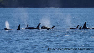 Family Kayak With Whales Tour - A pod of orcas.