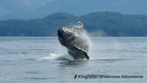 Kayak With Whales Tour - A breaching humpback whale in Blackfish Sound near the base camp.