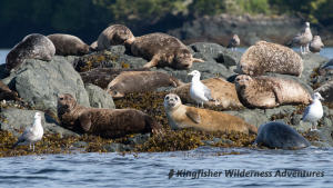 Kayak With Whales Tour - There are a number of harbour seal haul outs near our base camp.