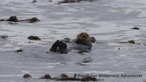 Sea Otter Explorer Kayak Tour - Typical sea otter pose.