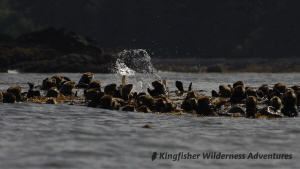 Sea Otter Explorer Kayak Tour - Rafts of sea otters are a common sight while kayaking in Nuchatlitz.