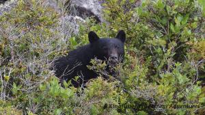 Sea Otter Explorer Kayak Tour - Black bears are fairly common on Nootka Island.