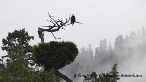 Sea Otter Explorer Kayak Tour - Bald eagle and nest.