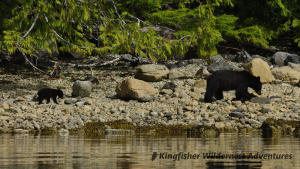 Sea Otter Explorer Kayak Tour - Mother black bear and cub seen from our kayaks.