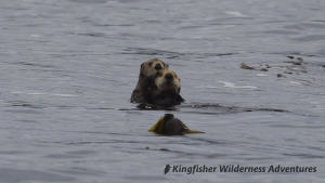 Sea Otter Explorer Kayak Tour - Sea otter mother and pup.