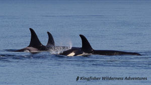 Whales and Grizzly Bears Kayak Tour - Orcas in Blackfish Sound near our Orca Waters Base Camp.