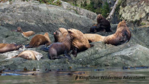 Whales and Grizzly Bears Kayak Tour - Steller sea lions often haul out in large numbers late in late August and September near the Orca Waters Base Camp.