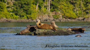 Whales and Grizzly Bears Kayak Tour - Harbour seals hauled out on rock near the Orca Waters Base Camp.