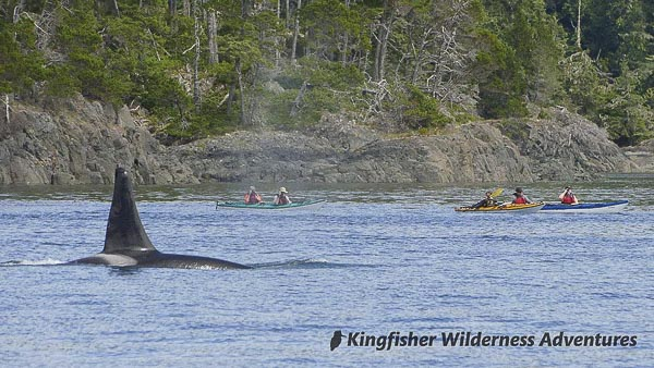 An orca passes one of our kayak groups in Johnstone Strait off northern Vancouver Island.