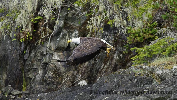 Bald eagles are a common sight on all our kayak tours,